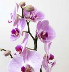 Phalaenopsis-rose-2-tiges-cache-pot-30.9